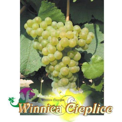 Sadzonka winorośli chardonnay winnica kpl marki Winnica cieplice