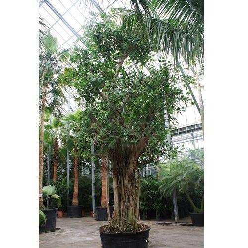 Ficus Bengalensis