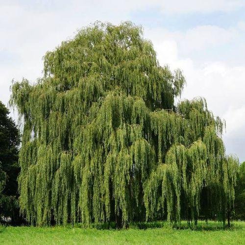 In my garden Wierzba wiciowa 10 sztuk (5907524047021)