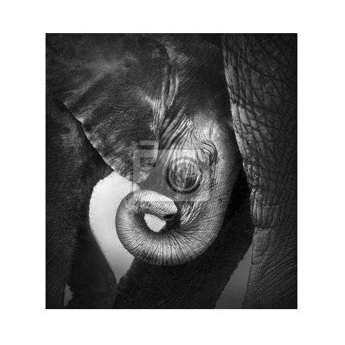 Fototapeta Baby elephant szukają komfortu, myloview z MyLoview