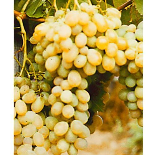 ´afuz ali´ - daktylowe winogrono 1 szt marki Starkl