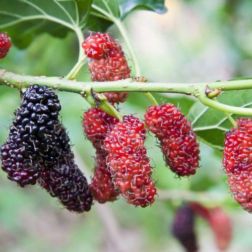 In my garden Morwa czarna de lux c2 (5907524043580)
