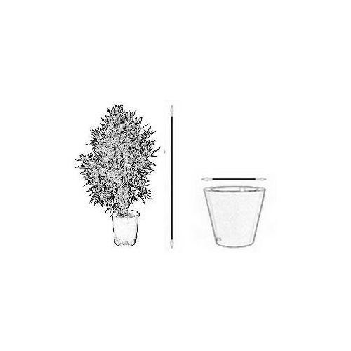 Bananowiec Musa Acuminata var. Tomentosa sadzonka
