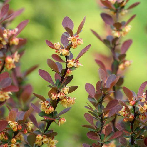 In my garden Berberys zielony 10 sztuk
