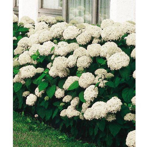 Hortensja drzewkowa ´annabelle´ 1 szt marki Starkl