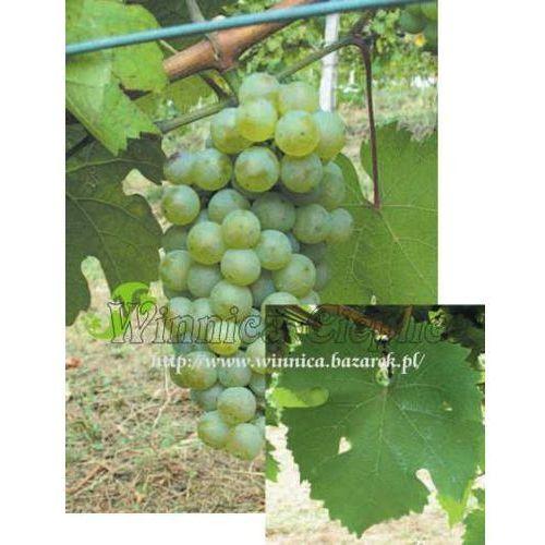 Riesling Reński sadzonka winorośli, RVK 065