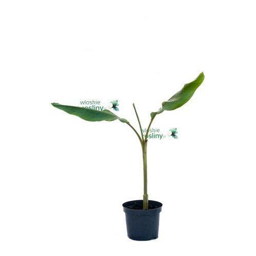 Bananowiec Musa Velutina duże drzewko