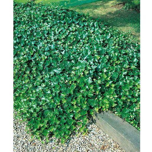 Bluszcz wiecznie zielony 1 szt marki Starkl
