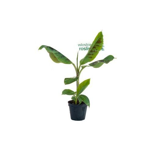 Bananowiec Musa Acuminata Grand Nain drzewko
