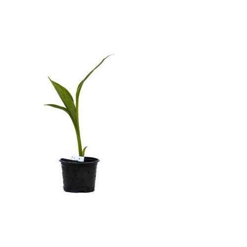 Bananowiec Ensete Ventricosum sadzonka