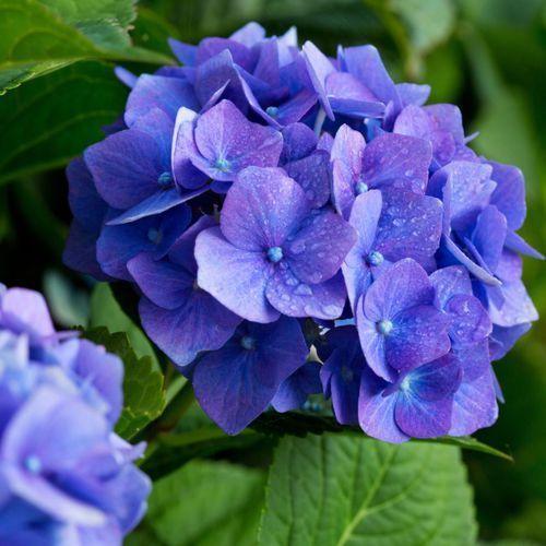 Hortensja niebieska Verve 25-40 cm, 3663602719984
