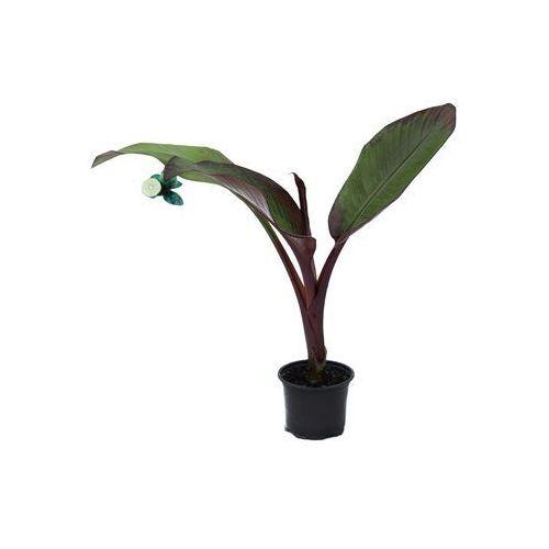 Bananowiec Ensete Maurelii sadzonka
