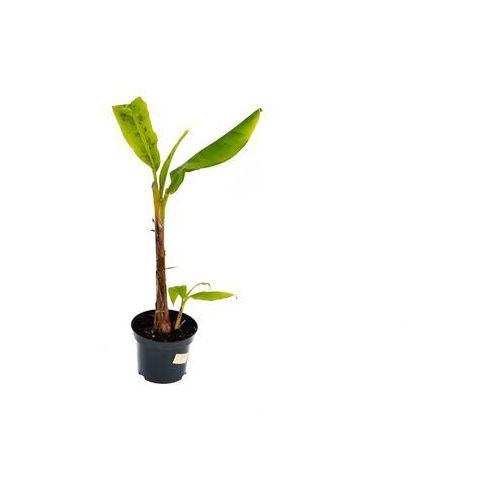 Bananowiec Musa Acuminata Grand Nain duże drzewko