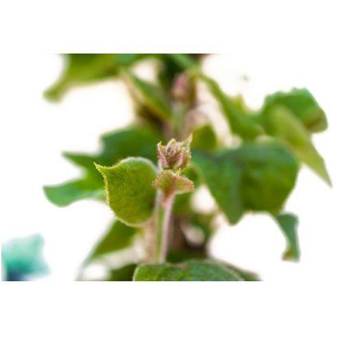 Kiwi sadzonka