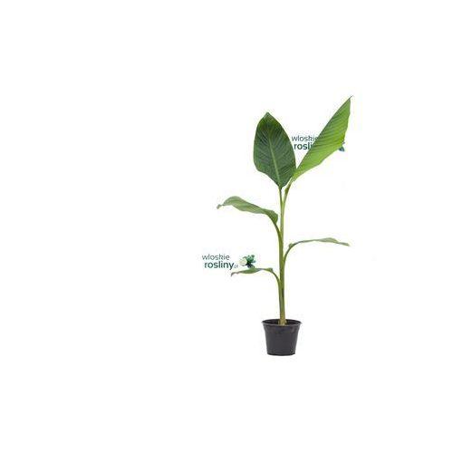 Bananowiec Musa Ornata Pink drzewko