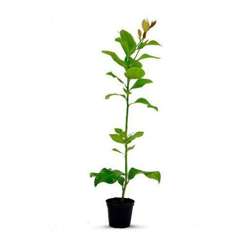 Cytryna Florentina sadzonka