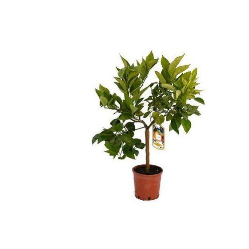 Pomarańcza Tarocco dal Muso duże drzewko