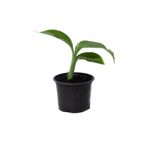 Bananowiec Ensete Glaucum sadzonka