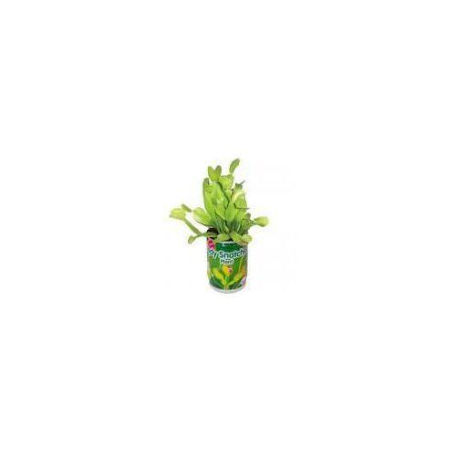 Muchołówka - żarłoczna roślina