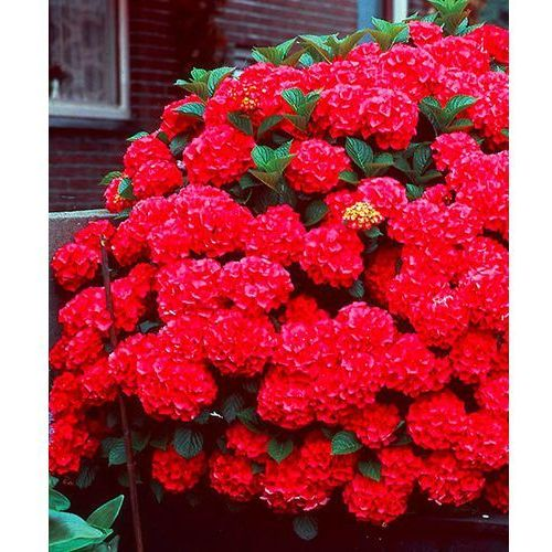 Hortensja ogrodowa ´hot red´ 1 szt marki Starkl