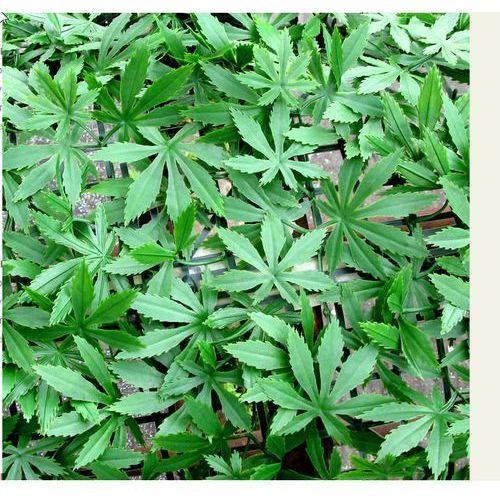 Osłona na balkon SZTUCZNY ŻYWOPŁOT 0,5X0,5M Cannabis jak żywy /NB-266, produkt marki Greeny